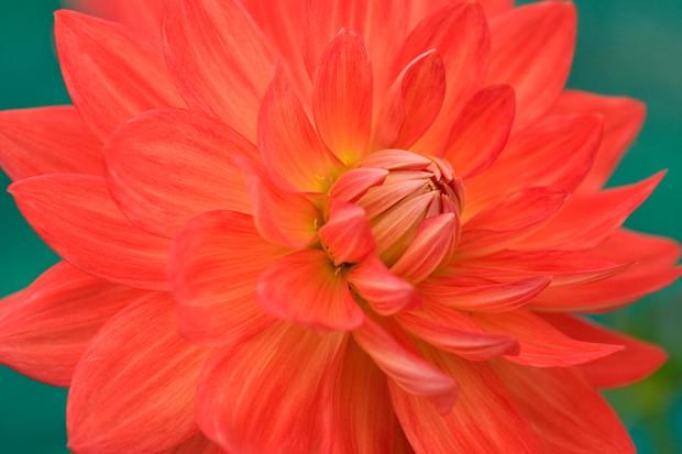 Scarlet waterlily-shaped flowers of Dahlia 'Taratahi Ruby'