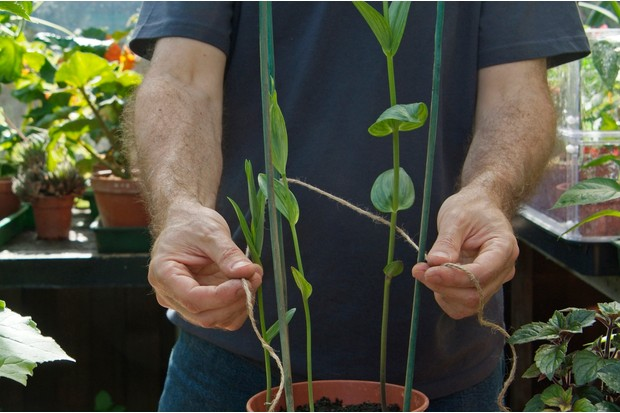 How to grow gloriosa - tying in the stems