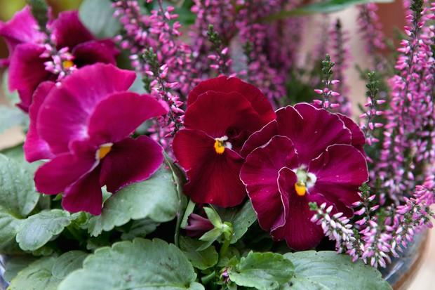 winter-flowering-pansy-2