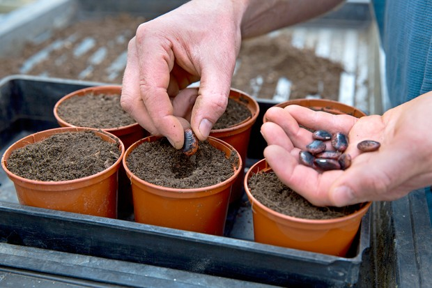 Sowing French beans in small pots