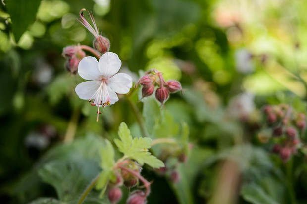 geranium-macrorrhizum-2