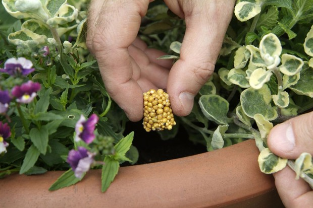 Feeding plants - adding fertiliser granules to a plant pot