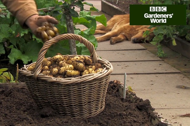 How to harvest new potatoes video