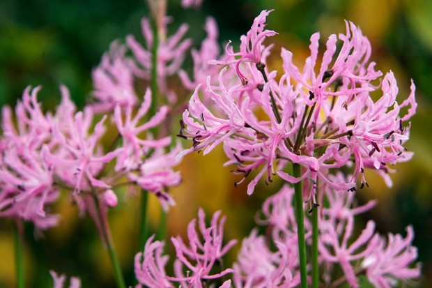 Nerine undulata (Flexuosa group)