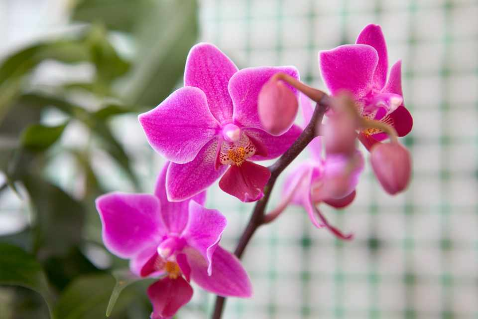 How to Get an Orchid to Flower Again