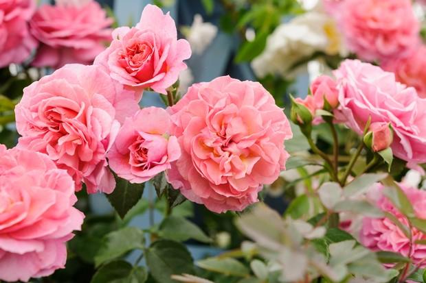 climbing-rose-rosa-pippin-3