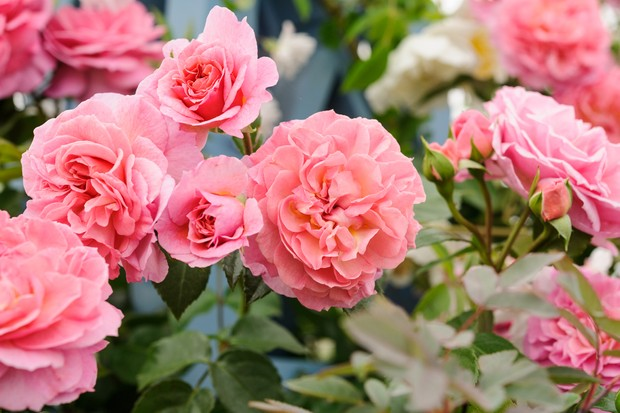 Peachy-pink, double blooms of climbing rose 'Pippin'