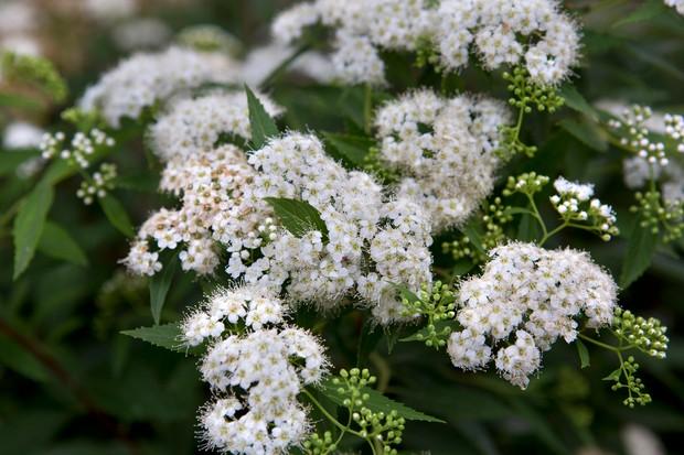 White blossom of Spiraea japonica