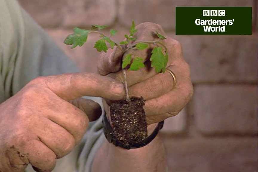 How to prick out tomato seedlings video