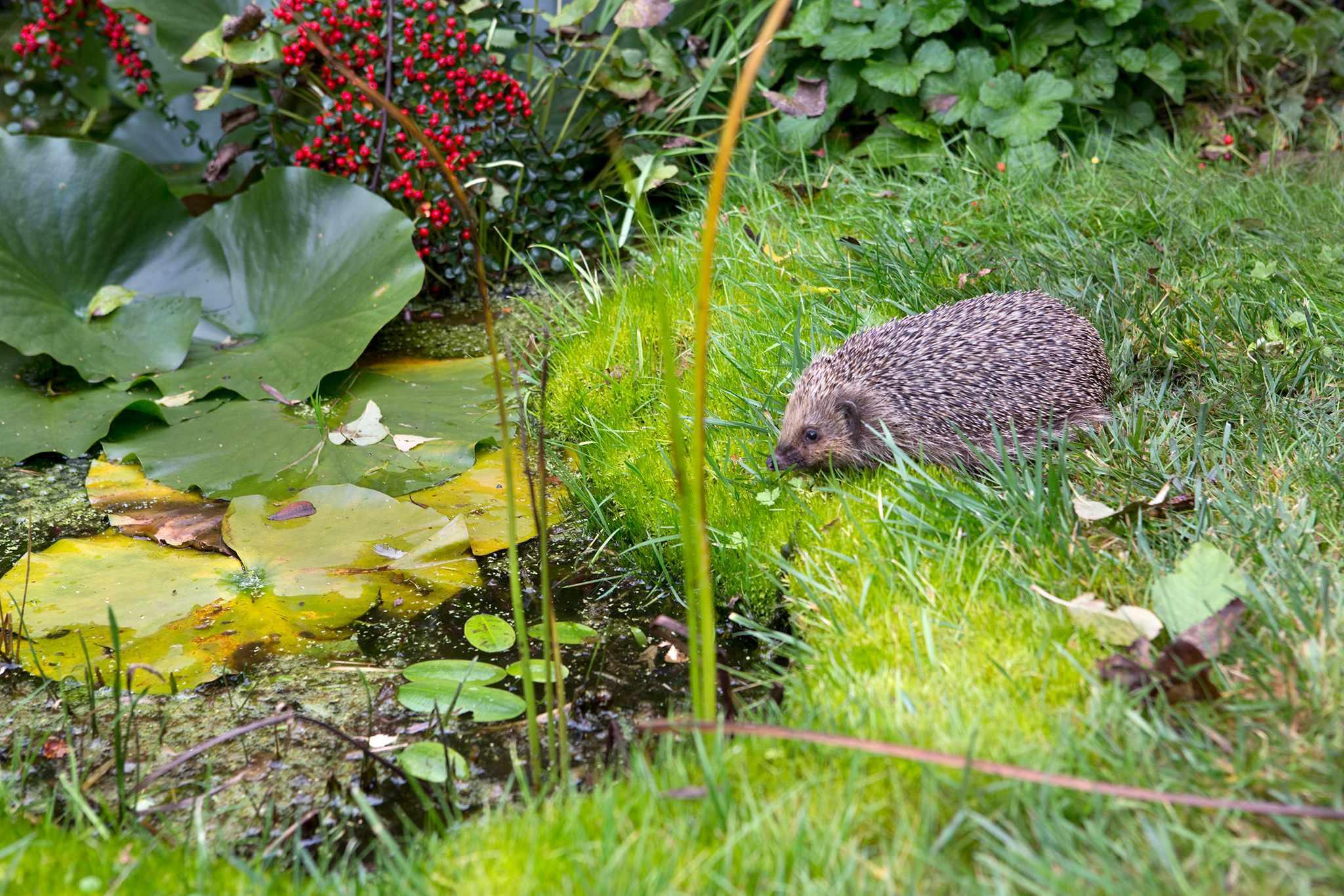 Hedgehog near a pond