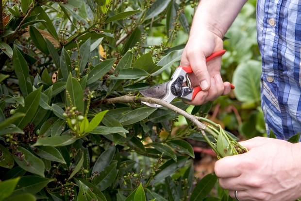 Pruning a cherry laurel in summer