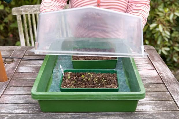how to grow celeriac from seed uk