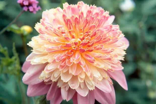 Pink and cream anemone dahlia 'Lambada'