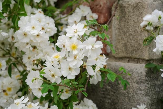 Masses of white Rosa 'Rambling Rector' flowers