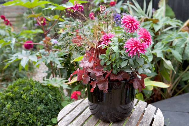 Pink dahlia in a pot with carex