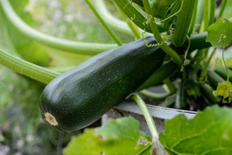 A courgette ready to pick from its vine