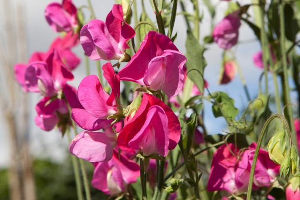 sweet-pea-flowers-6