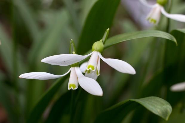 galanthus-woronowii-3