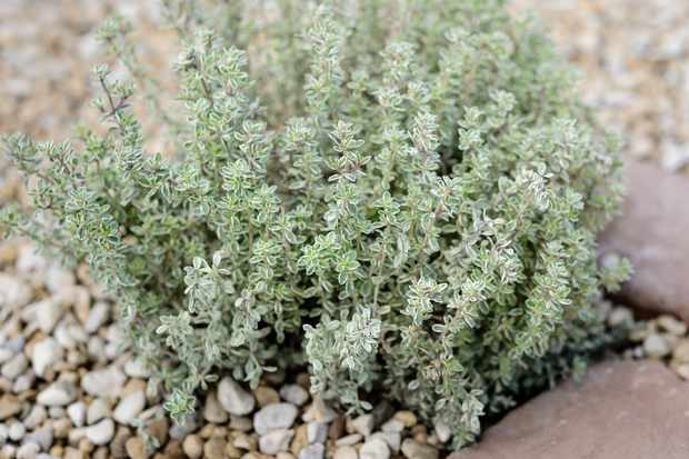 thymus-citriodorus-variegata-2