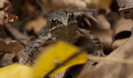 Rana temporaria Common frog