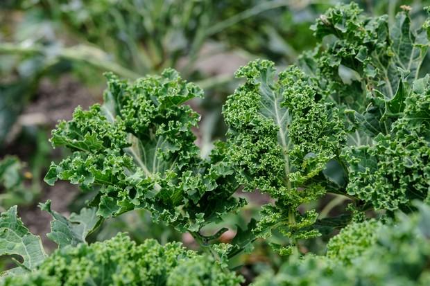 Curly leaves of kale 'Pentland Brig'