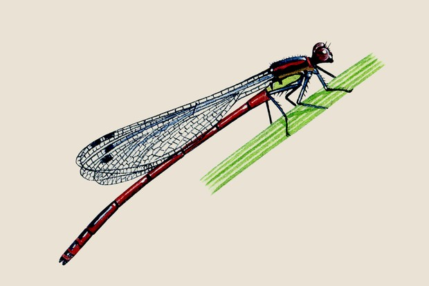 An illustration of a large red damselfly