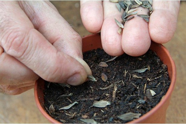 sowing-summer-bedding-sow-seeds-in-pot-2