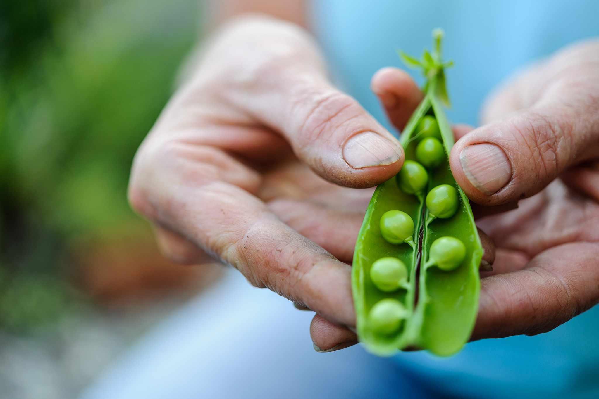 Fresh peas in a pod