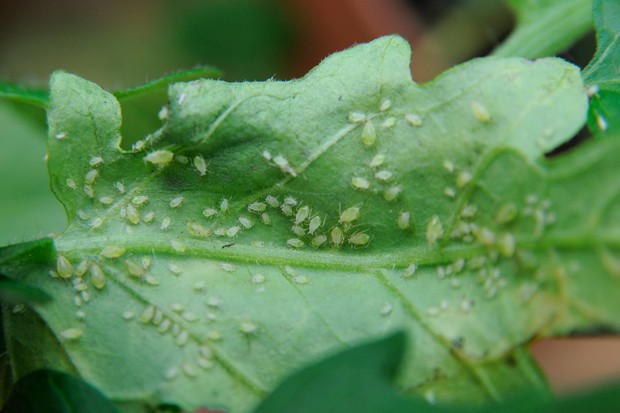 aphids-on-a-leaf-6