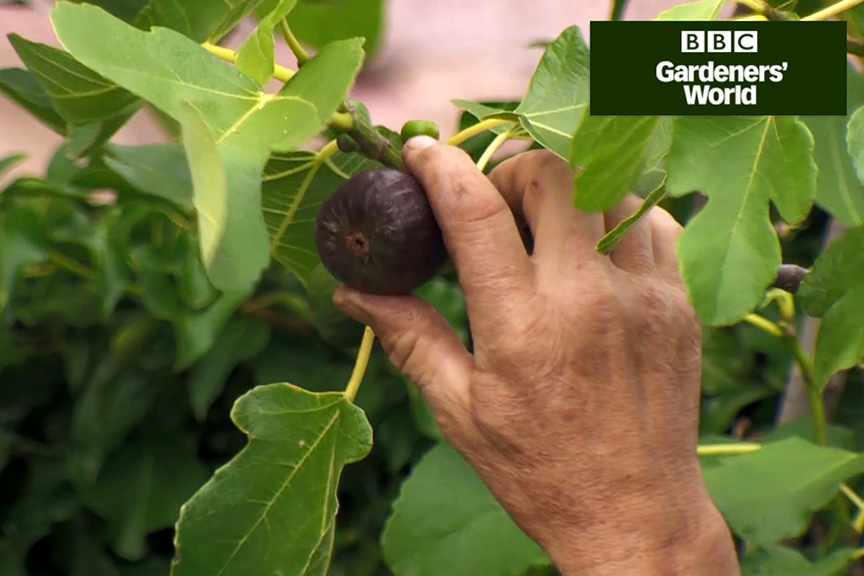 How to tell if a fig is ripe
