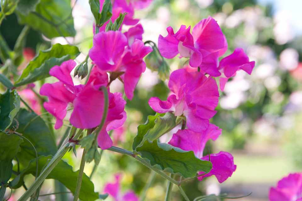 How to sow sweet pea seeds