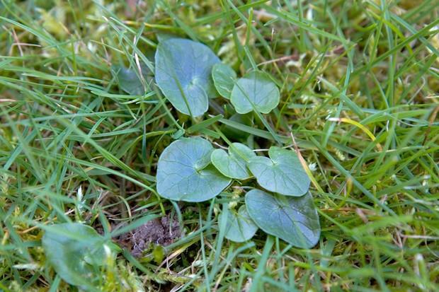 Lesser celandine (Ficaria verna) seedling