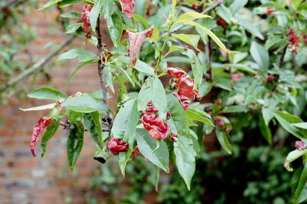 Peach tree with some leaves puckered and red from fungal peach leaf curl
