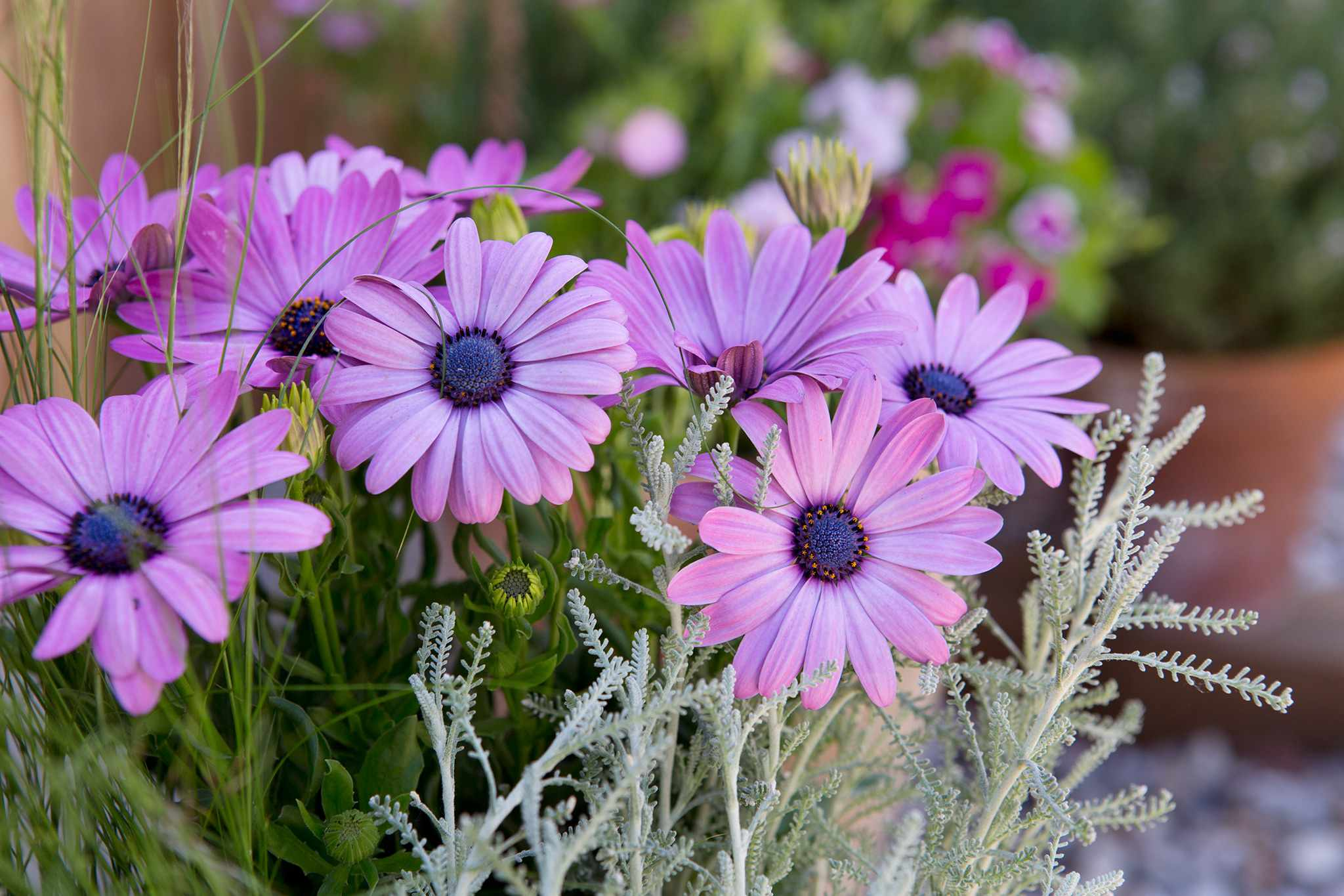 Santolina and pink osteospermum flowers
