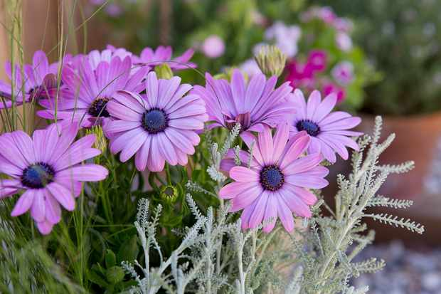 Santolina, stipa and osteospermum pot