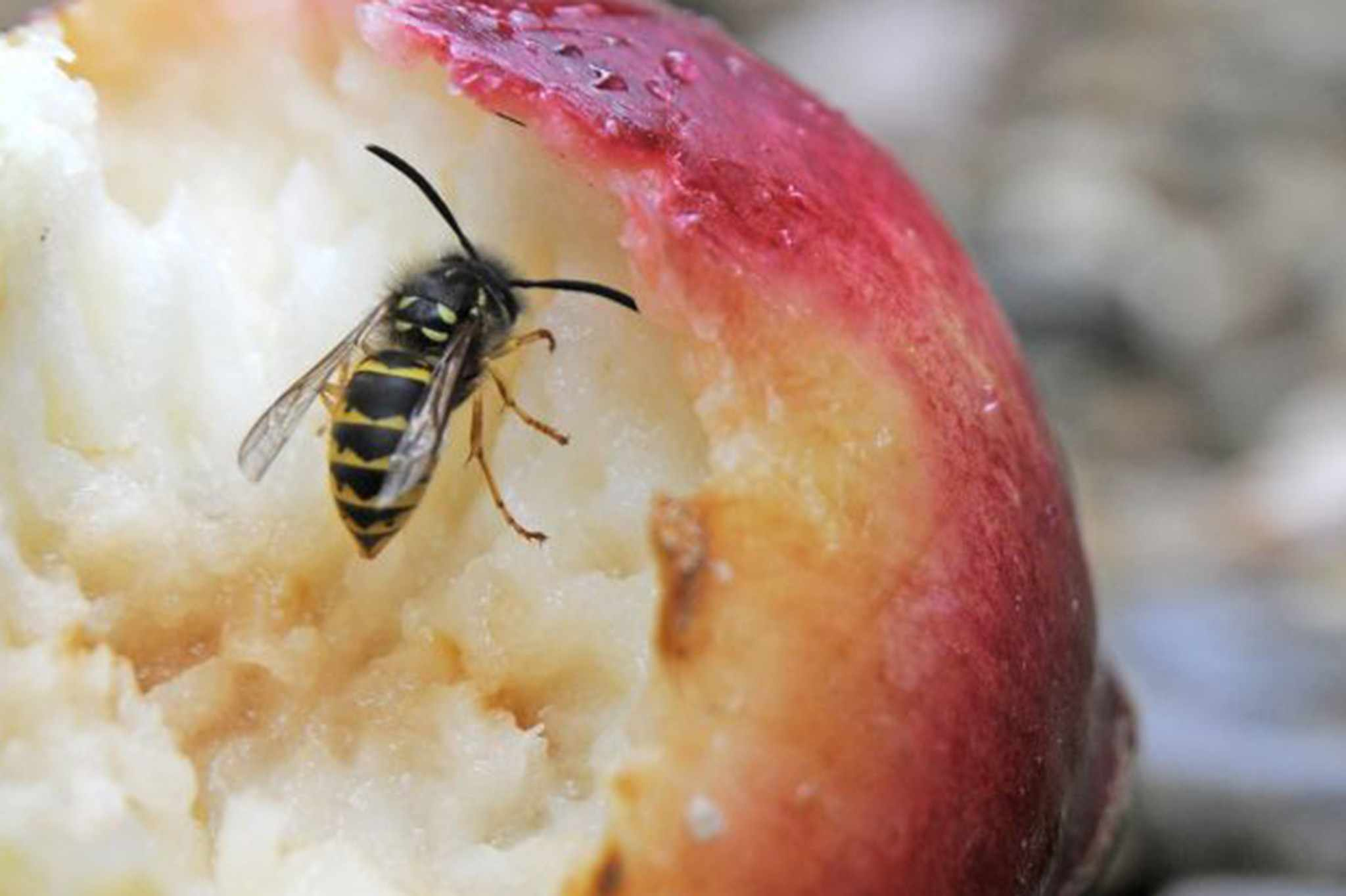 A wasp eating an apple