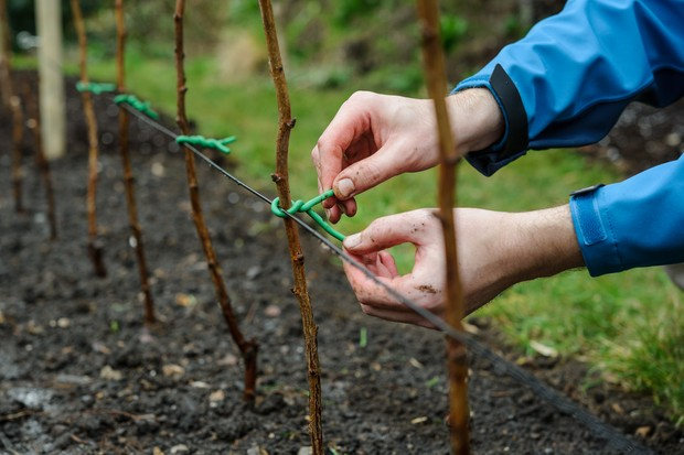 planting-bare-root-raspberry-canes-2