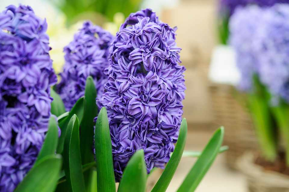 How To Force Hyacinths Gardenersworld