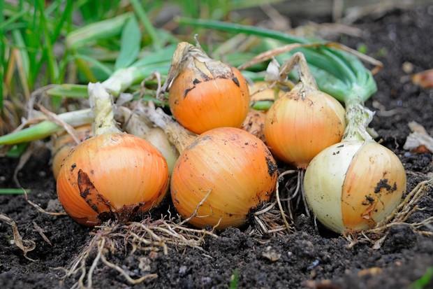 Freshly harvested white onions