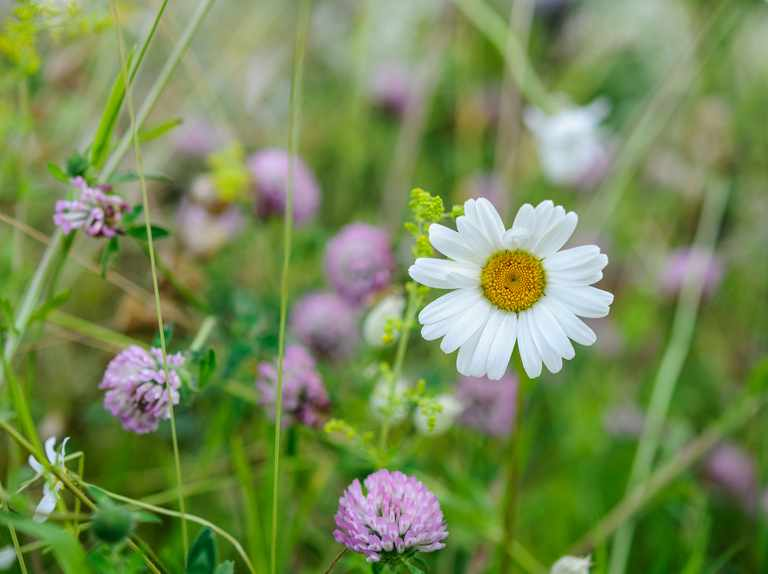 Five key plants for a mini-meadow