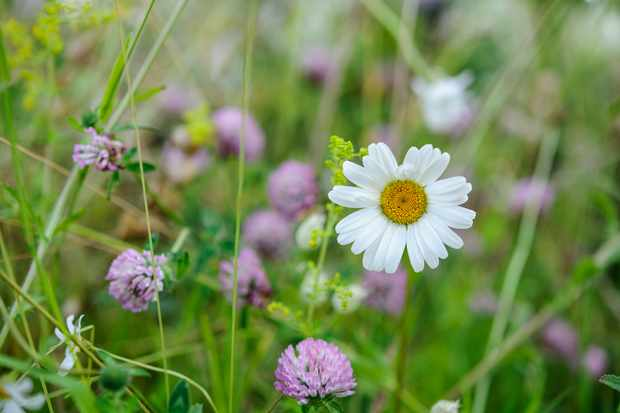 An ox-eye daisy in a lawn with clover flowers