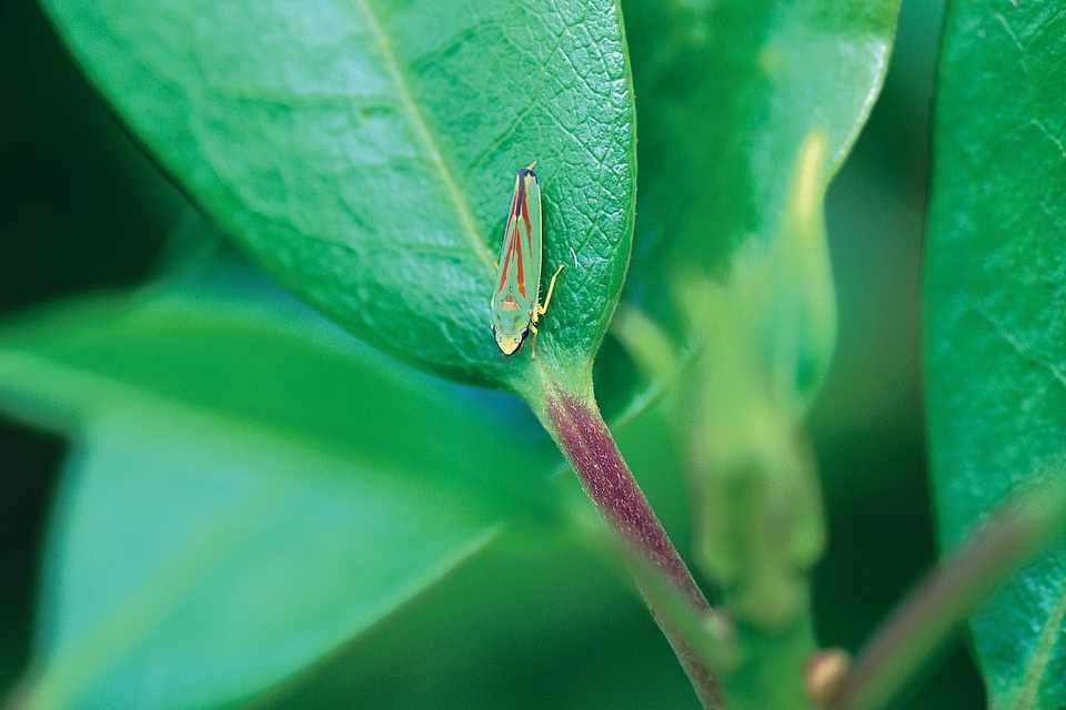 A leafhopper on a leaf