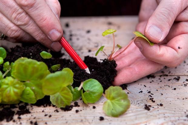 Planting begonia seedlings - teasing the seedlings apart