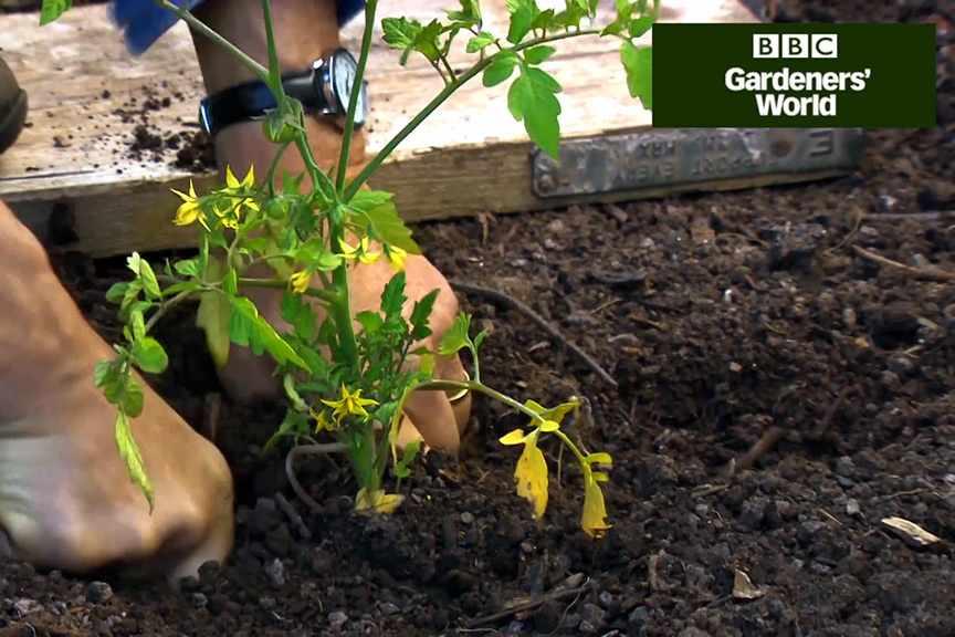 Monty Don's tomato trial (part three) video