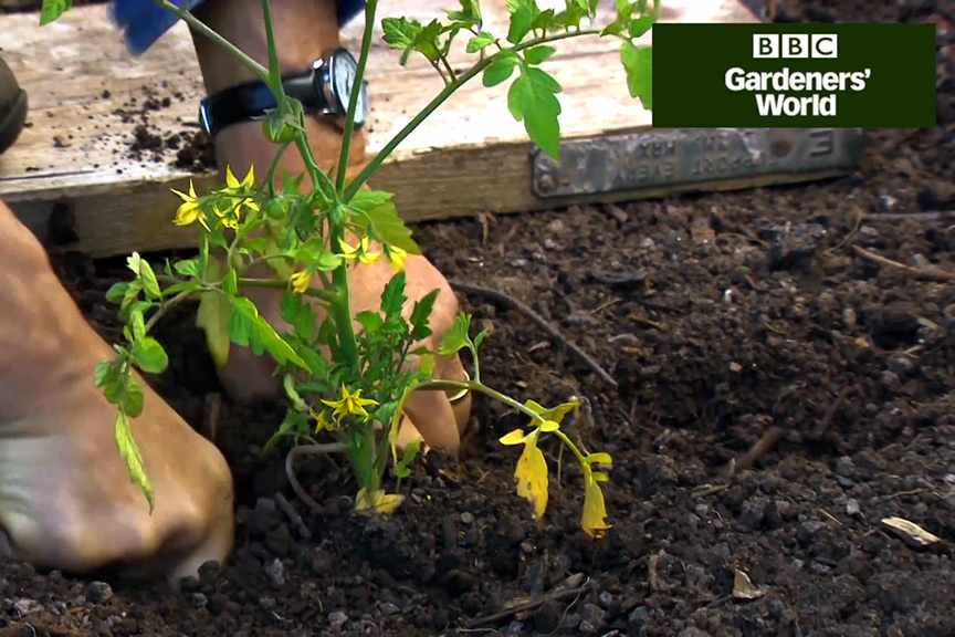 Monty Don's tomato trial (part three)
