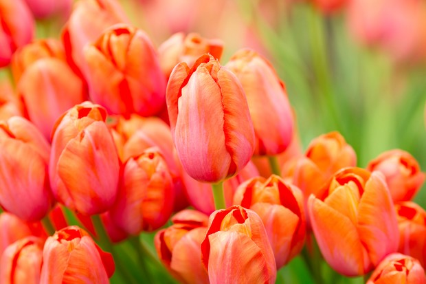 orange-red-tulip-avignon-3