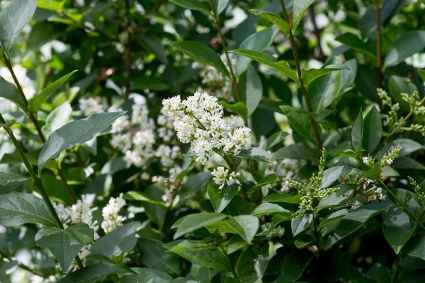 shrubs-for-butterflies-ligustrum-vulgare-2