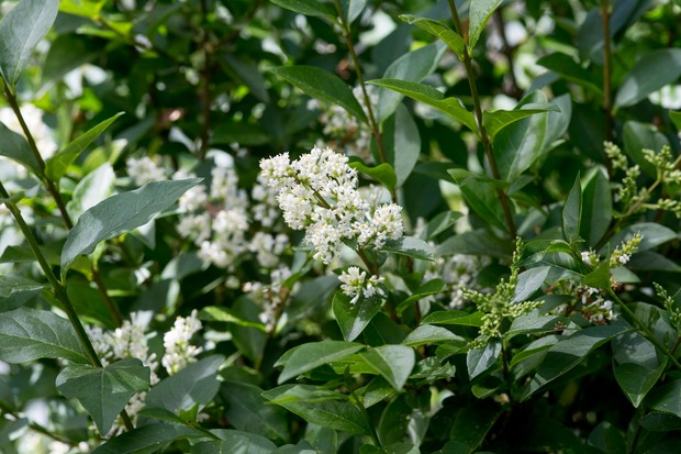 shrubs-for-butterflies-ligustrum-vulgare-2