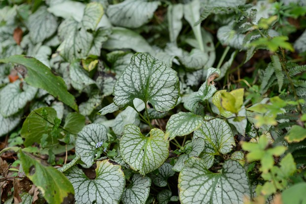 brunnera-macrophylla-jack-frost-2