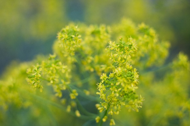 A mass of tiny yellow woad flowers